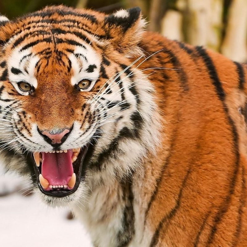 10 New Angry Tiger Wallpaper Hd 1080p Full Hd 1920 1080 For Pc