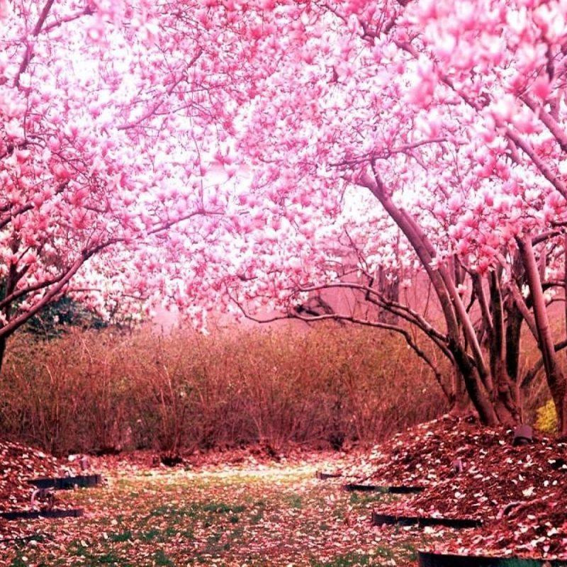 10 New Cherry Blossom Background Hd FULL HD 1920×1080 For PC Desktop 2020 free download 1440900 japanese sakura wallpapers japanese cherry blossom hd 800x800