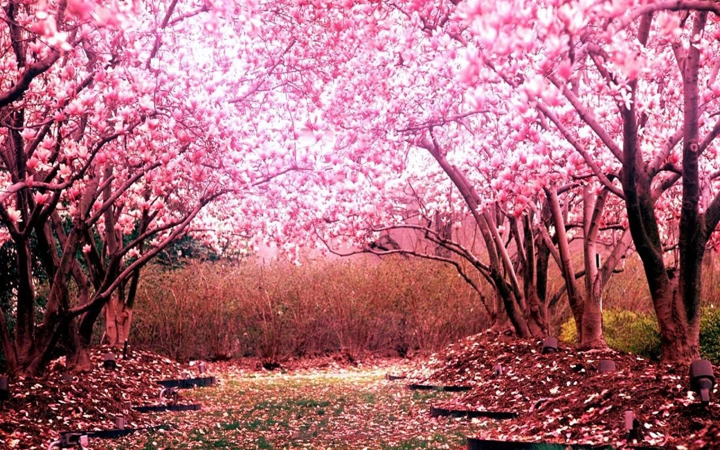 1440900 japanese sakura wallpapers japanese cherry blossom  - hd