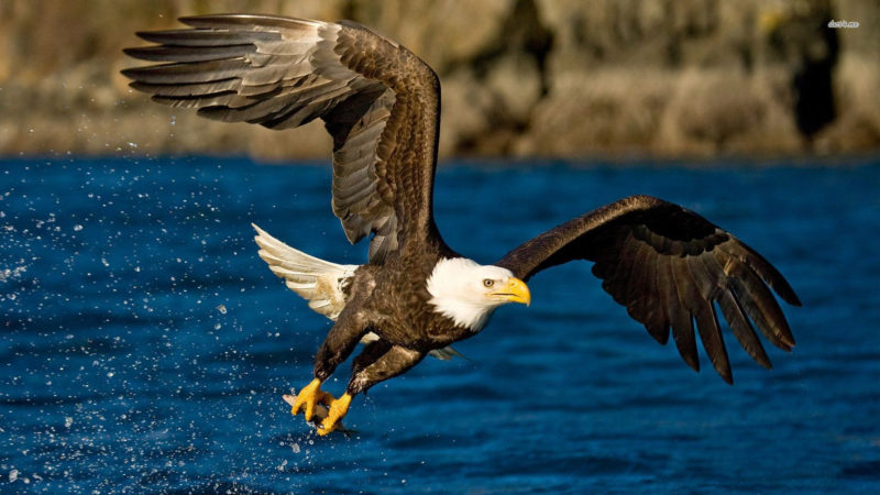 10 Most Popular Bald Eagle Hd Wallpapers FULL HD 1920×1080 For PC Background 2021 free download 1920x1080 eagle hd animal wallpapers wallpapers smajliji the 800x450