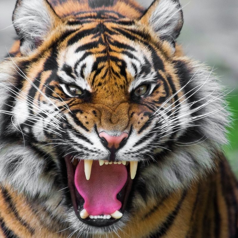 10 New Angry Tiger Wallpaper Hd 1080P FULL HD 1920×1080 For PC Desktop 2018 free download 1920x1080 tiger wallpaper full hd 65 images 800x800