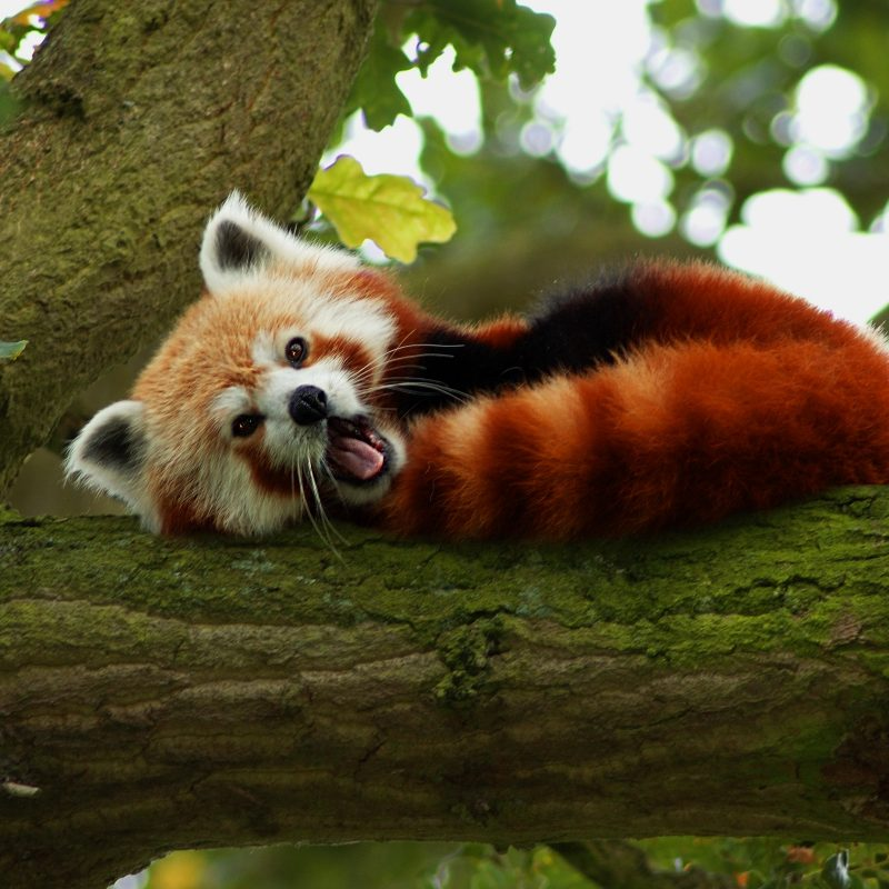 10 Latest Red Panda Wallpaper 1920X1080 FULL HD 1920×1080 For PC Desktop 2021 free download 193 red panda hd wallpapers background images wallpaper abyss 1 800x800