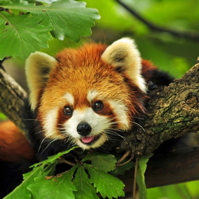10 Latest Red Panda Wallpaper 1920X1080 FULL HD 1920×1080 For PC Desktop 2020 free download 193 red panda hd wallpapers background images wallpaper abyss 800x800