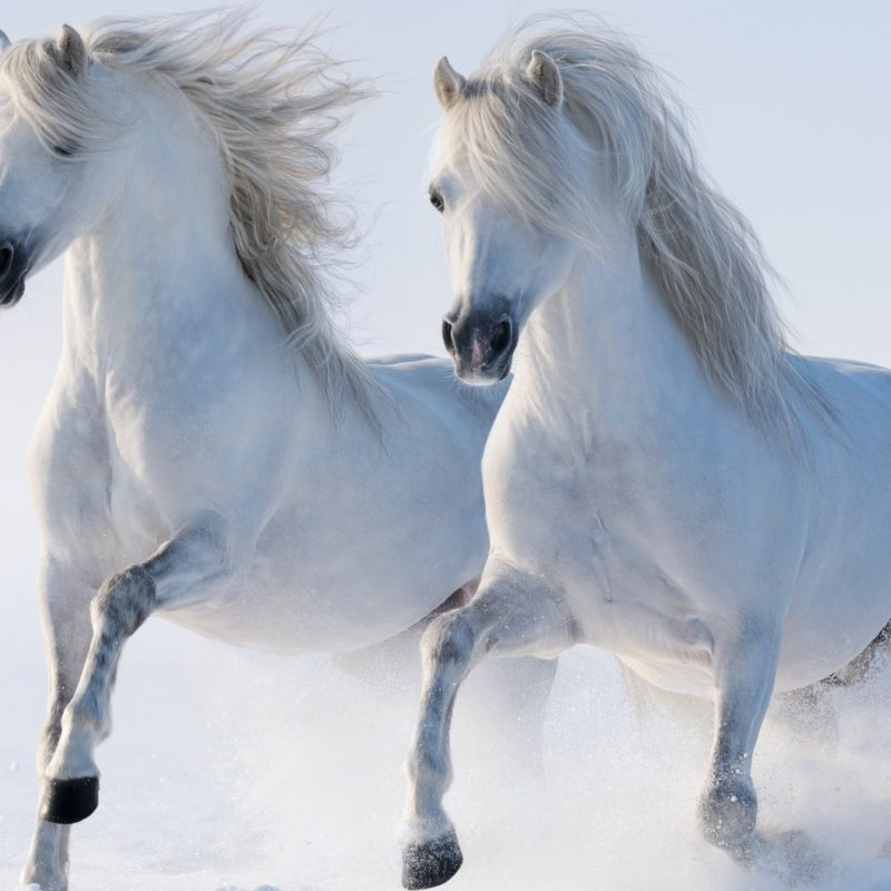 10 Latest Pictures Of White Horses Running FULL HD 1920×1080 For PC Background 2018 free download 2 horses e29da4 4k hd desktop wallpaper for 4k ultra hd tv e280a2 wide 800x800