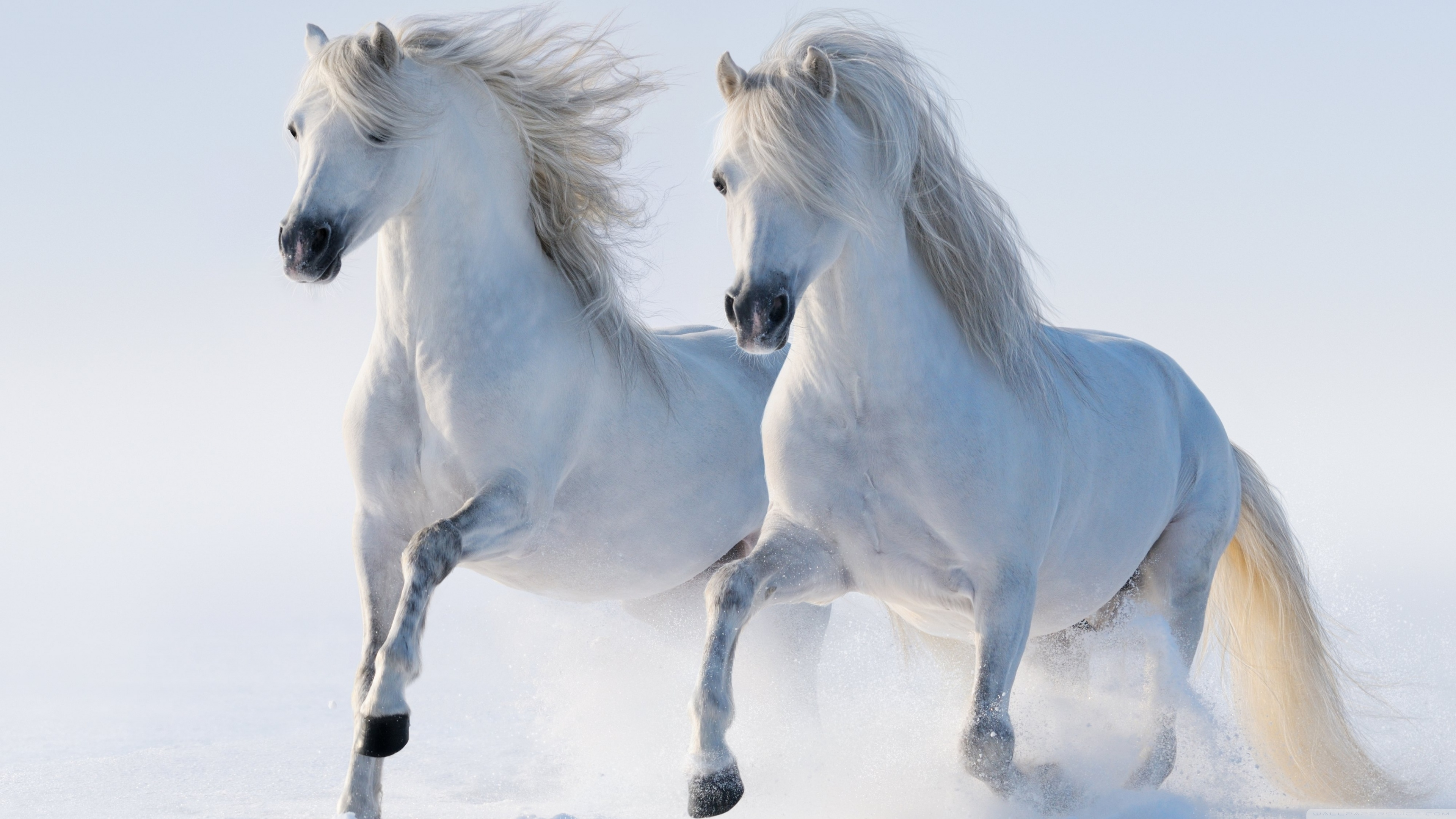 2 horses ❤ 4k hd desktop wallpaper for 4k ultra hd tv • wide