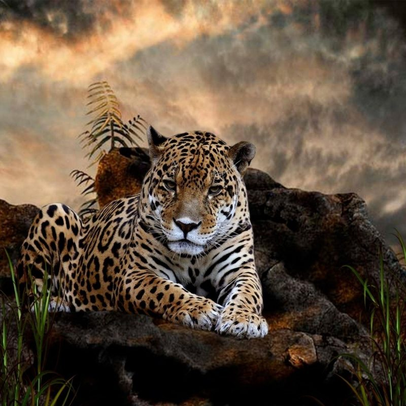 10 Best Wild Animal Wall Paper FULL HD 1080p For PC Desktop 2018 free download 208 jaguar hd wallpapers background images wallpaper abyss 800x800