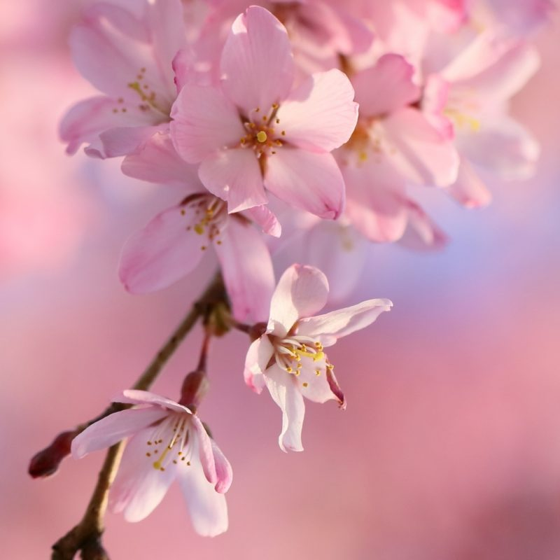 10 Latest Cherry Blossom Wallpaper Iphone FULL HD 1920×1080 For PC Desktop 2020 free download 22 cherry blossom apple iphone 7 plus 1080x1920 wallpapers 800x800