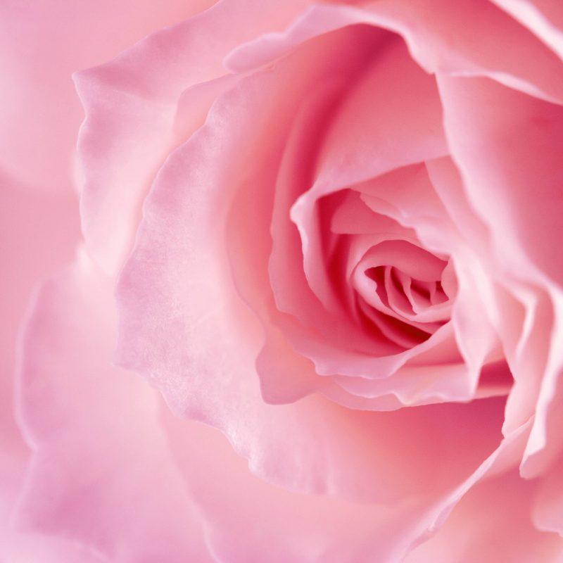 10 Best Pink Rose Background Wallpaper FULL HD 1920×1080 For PC Desktop 2018 free download 2300 rose pink background 800x800