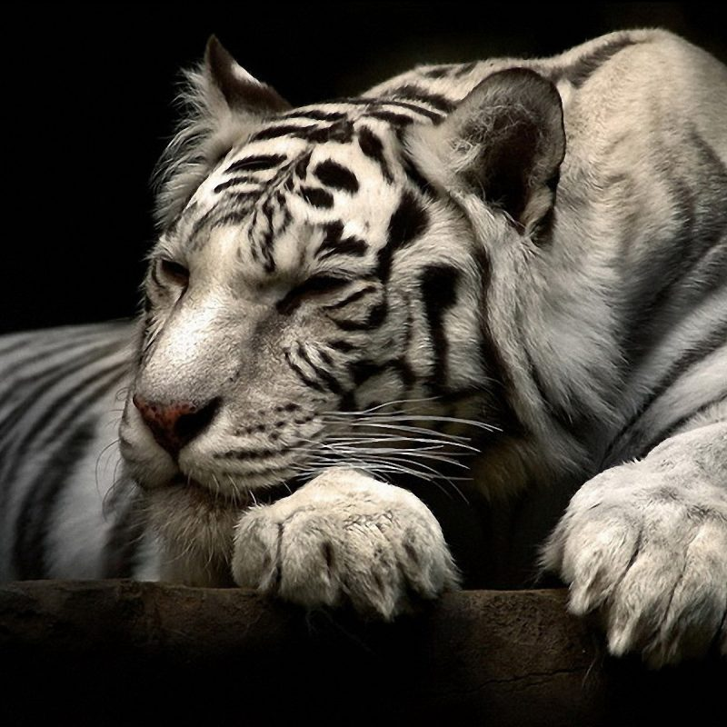 10 Best Wallpapers Of White Tigers FULL HD 1920×1080 For PC Background 2021 free download 234 white tiger hd wallpapers background images wallpaper abyss 3 800x800
