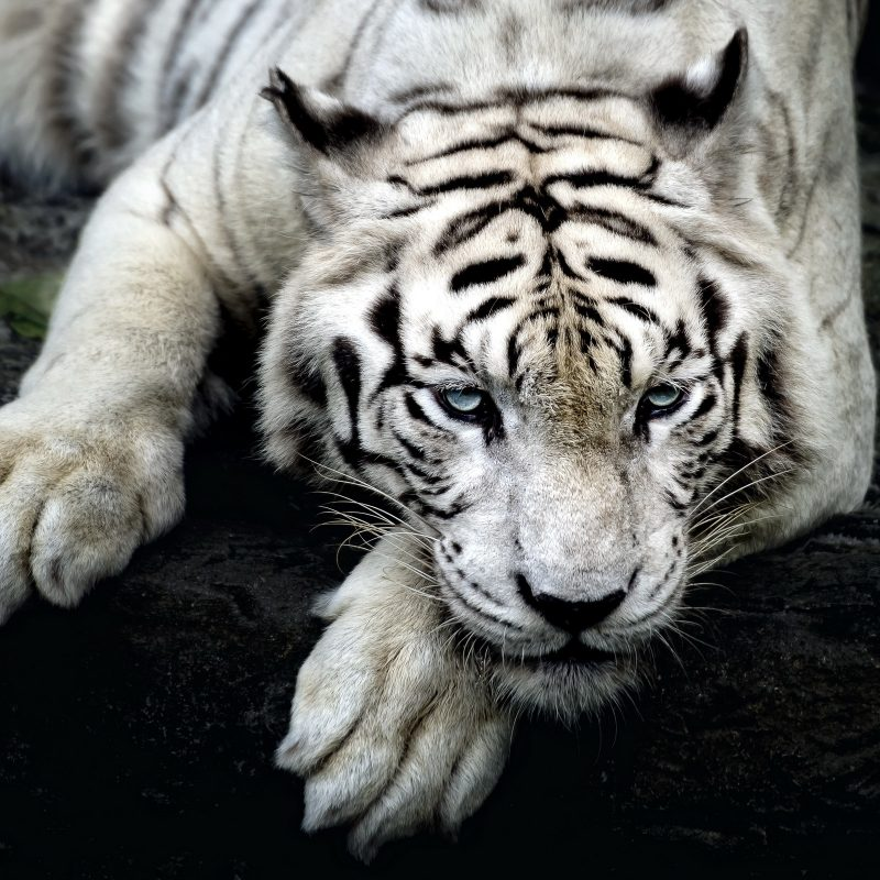 10 Best White Tiger Hd Wallpapers 1920X1080 FULL HD 1080p For PC Background 2020 free download 234 white tiger hd wallpapers background images wallpaper abyss 6 800x800