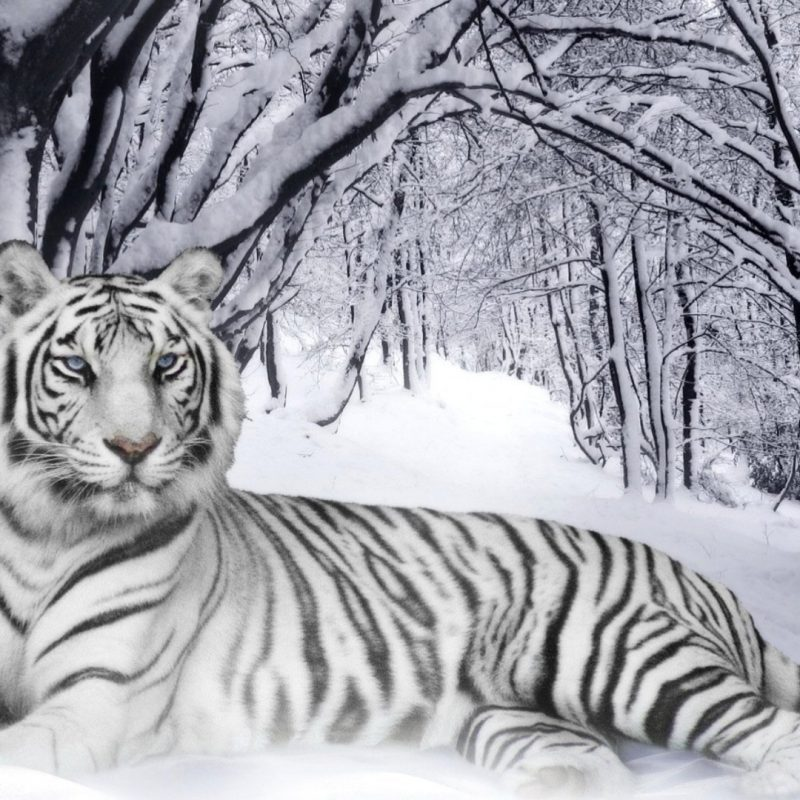 10 Best White Tiger Hd Wallpapers 1920X1080 FULL HD 1080p For PC Background 2020 free download 234 white tiger hd wallpapers background images wallpaper abyss 7 800x800