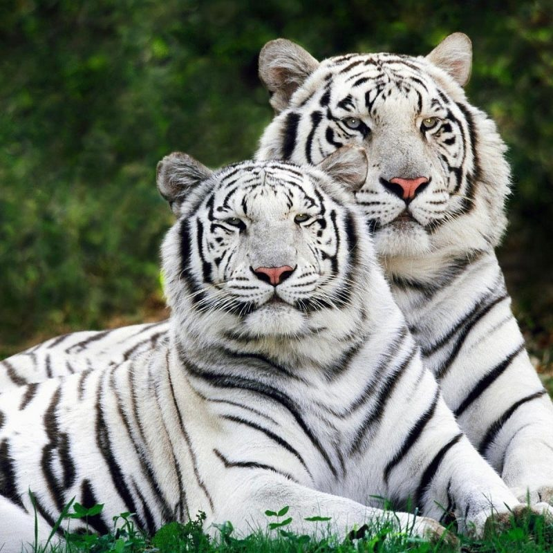 10 Top White Tiger Hd Wallpapers 1080P FULL HD 1080p For PC Background 2018 free download 234 white tiger hd wallpapers background images wallpaper abyss 800x800