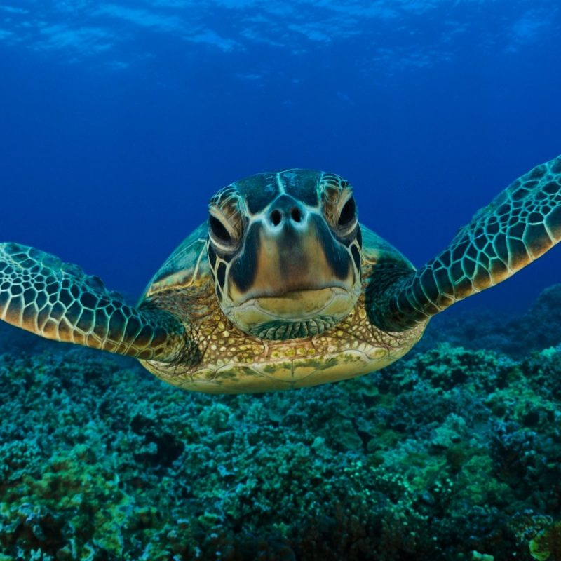 10 Latest Sea Turtle Desktop Wallpaper FULL HD 1920×1080 For PC Background 2020 free download 244 turtle hd wallpapers background images wallpaper abyss 2 800x800