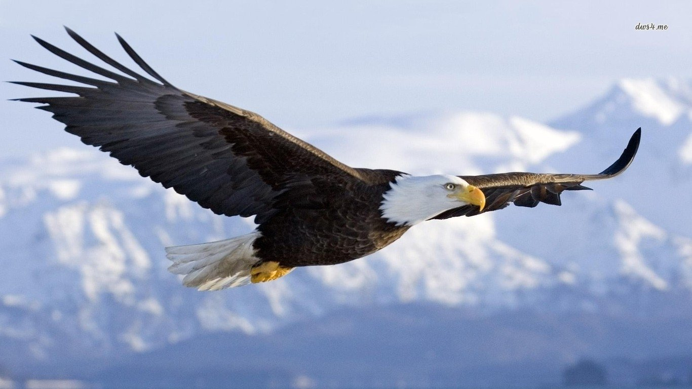 249 bald eagle hd wallpapers | background images - wallpaper abyss
