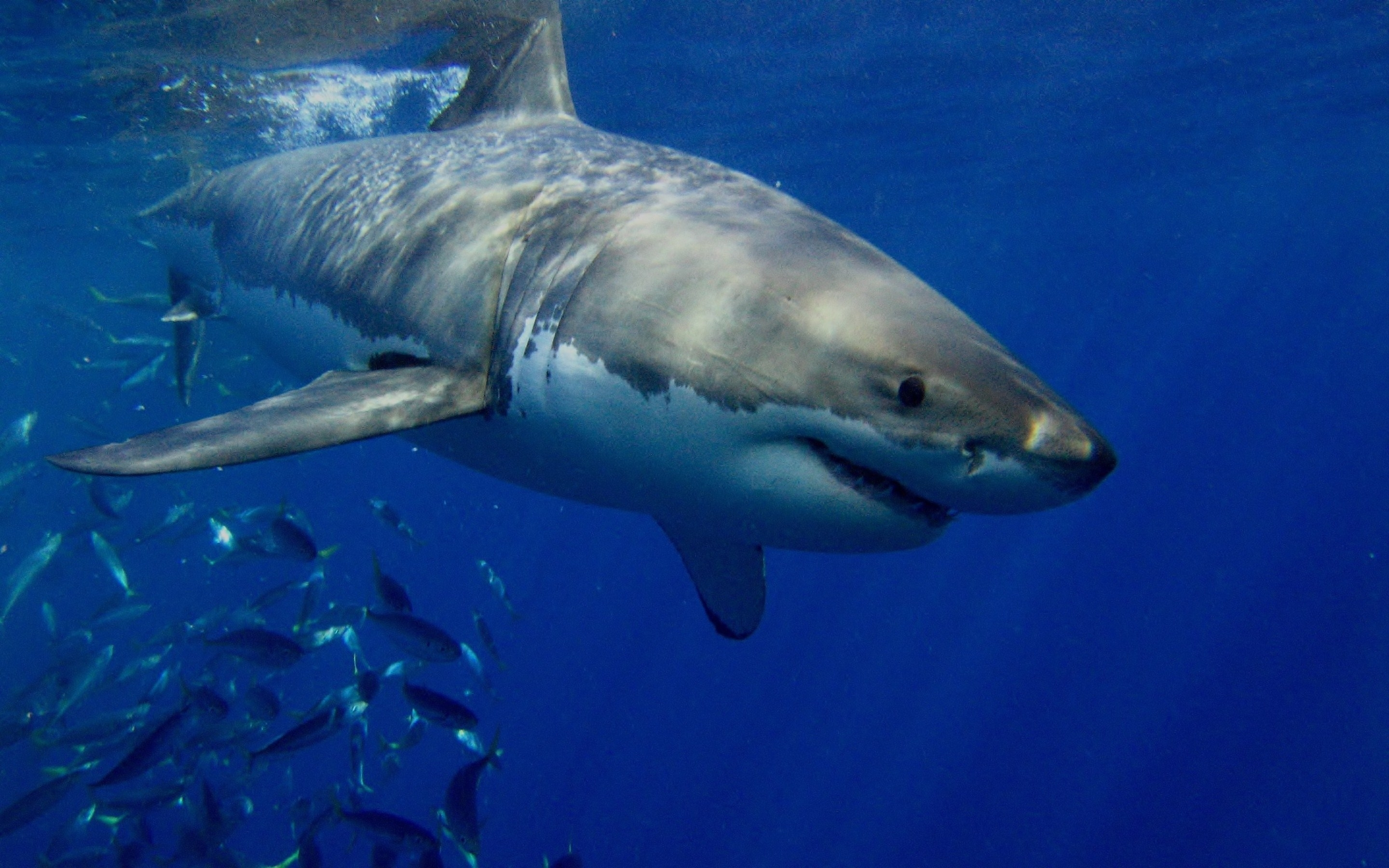 25 great white shark hd wallpapers | background images - wallpaper abyss