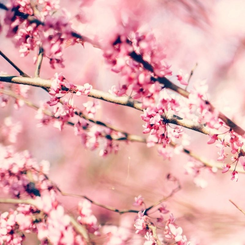 10 Latest Cherry Blossom Wallpaper Iphone FULL HD 1920×1080 For PC Desktop 2020 free download 27 floral iphone 7 plus wallpapers for a sunny spring preppy 1 800x800