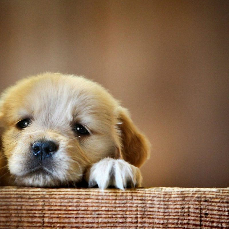 10 Best Cute Puppies Desktop Wallpaper FULL HD 1080p For PC Desktop 2018 free download 2750 cute dog wallpapers for desktop 800x800
