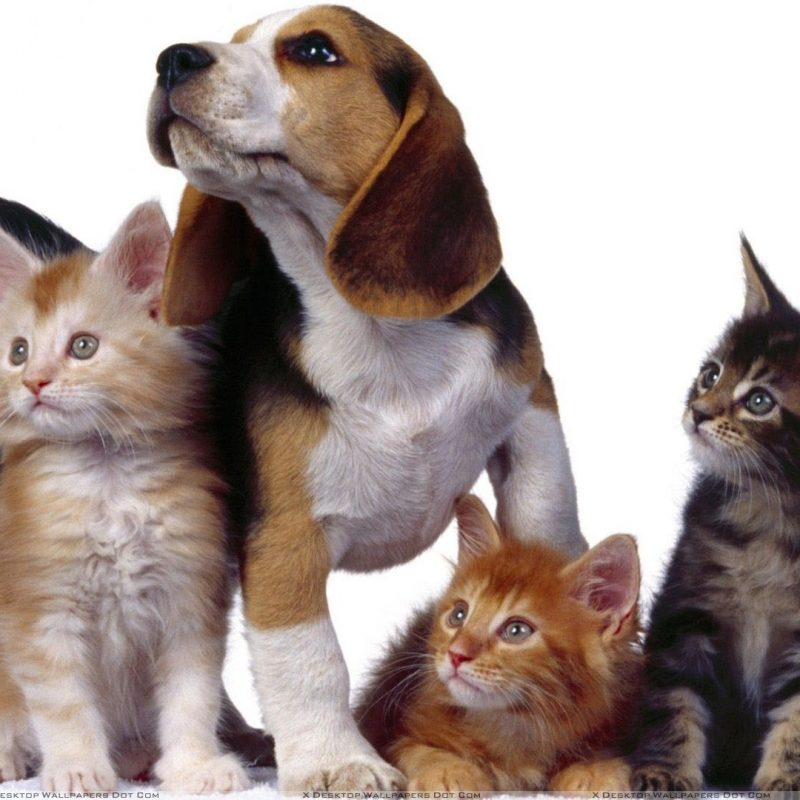 10 Latest Dog And Cat Background FULL HD 1080p For PC Background 2018 free download 3 cats with dog on white background wallpaper 800x800