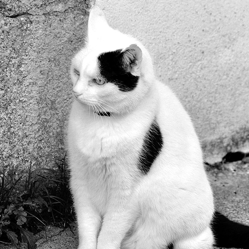10 Best Black And White Cat Pictures FULL HD 1920×1080 For PC Desktop 2020 free download 30 awesome black and white cat facts from the happy cat site 800x800