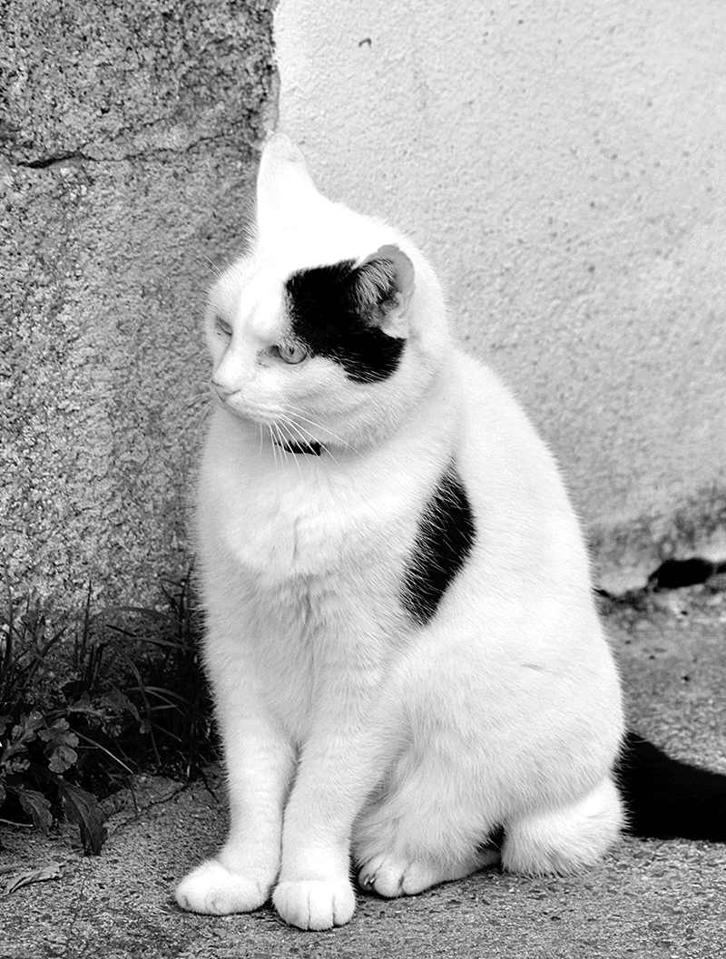 30 awesome black and white cat facts from the happy cat site