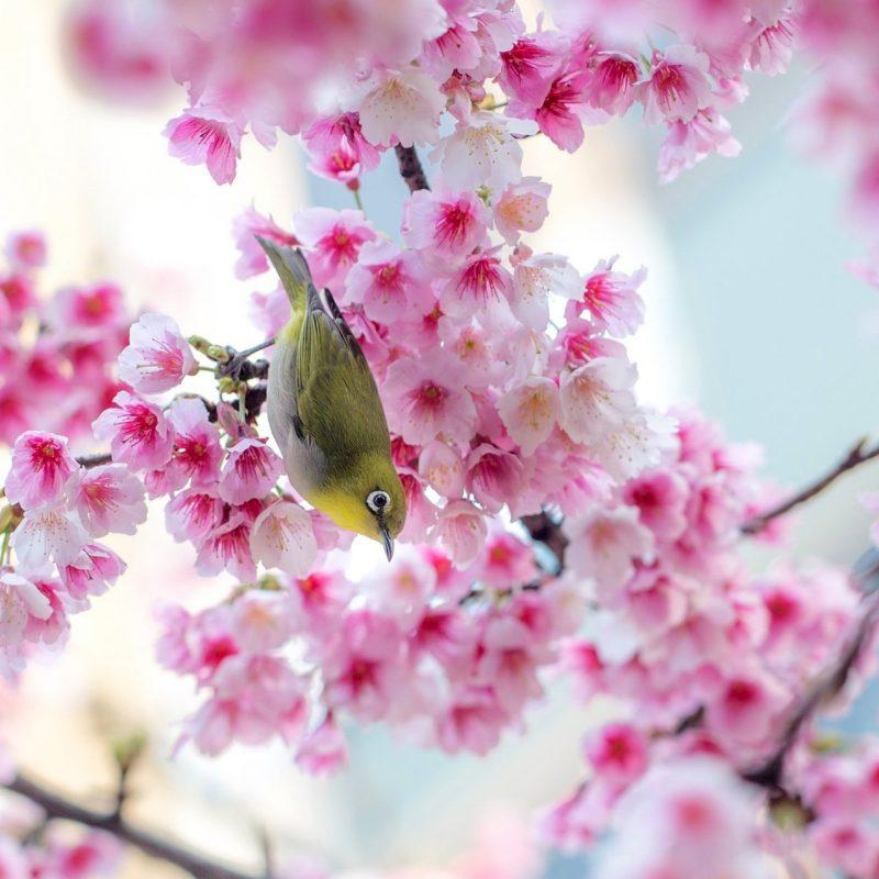 10 Most Popular Sakura Cherry Blossom Wallpaper FULL HD 1920×1080 For PC Desktop 2020 free download 30 hd cherry blossom wallpapers for desktop designemerald 1 800x800
