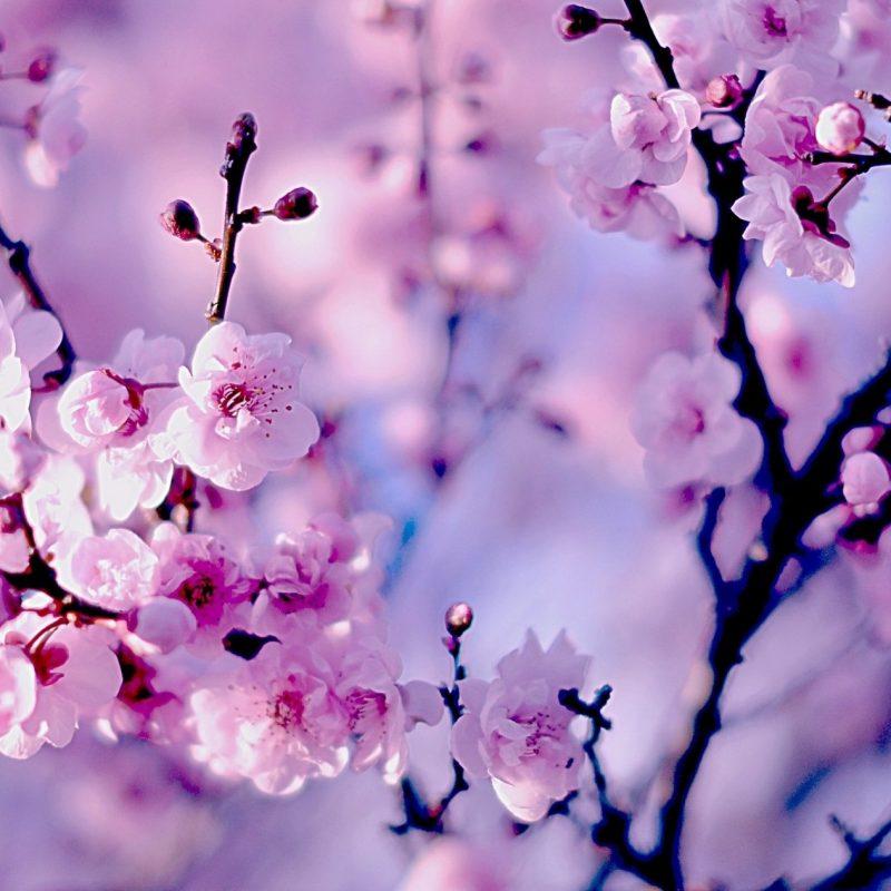10 Most Popular Sakura Cherry Blossom Wallpaper FULL HD 1920×1080 For PC Desktop 2020 free download 30 hd cherry blossom wallpapers for desktop designemerald 800x800