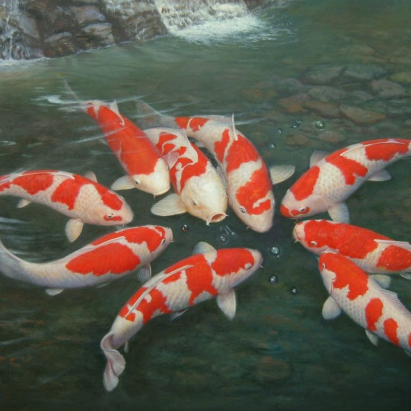 10 Most Popular Koi Fish Wallpaper Hd FULL HD 1080p For PC Background 2021 free download 30 koi hd wallpapers background images wallpaper abyss 800x800