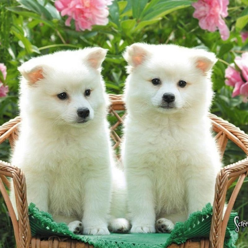 10 Best Cute Puppies Desktop Wallpaper FULL HD 1080p For PC Desktop 2018 free download 34 puppy chrome themes desktop wallpapers more for dog lovers 800x800