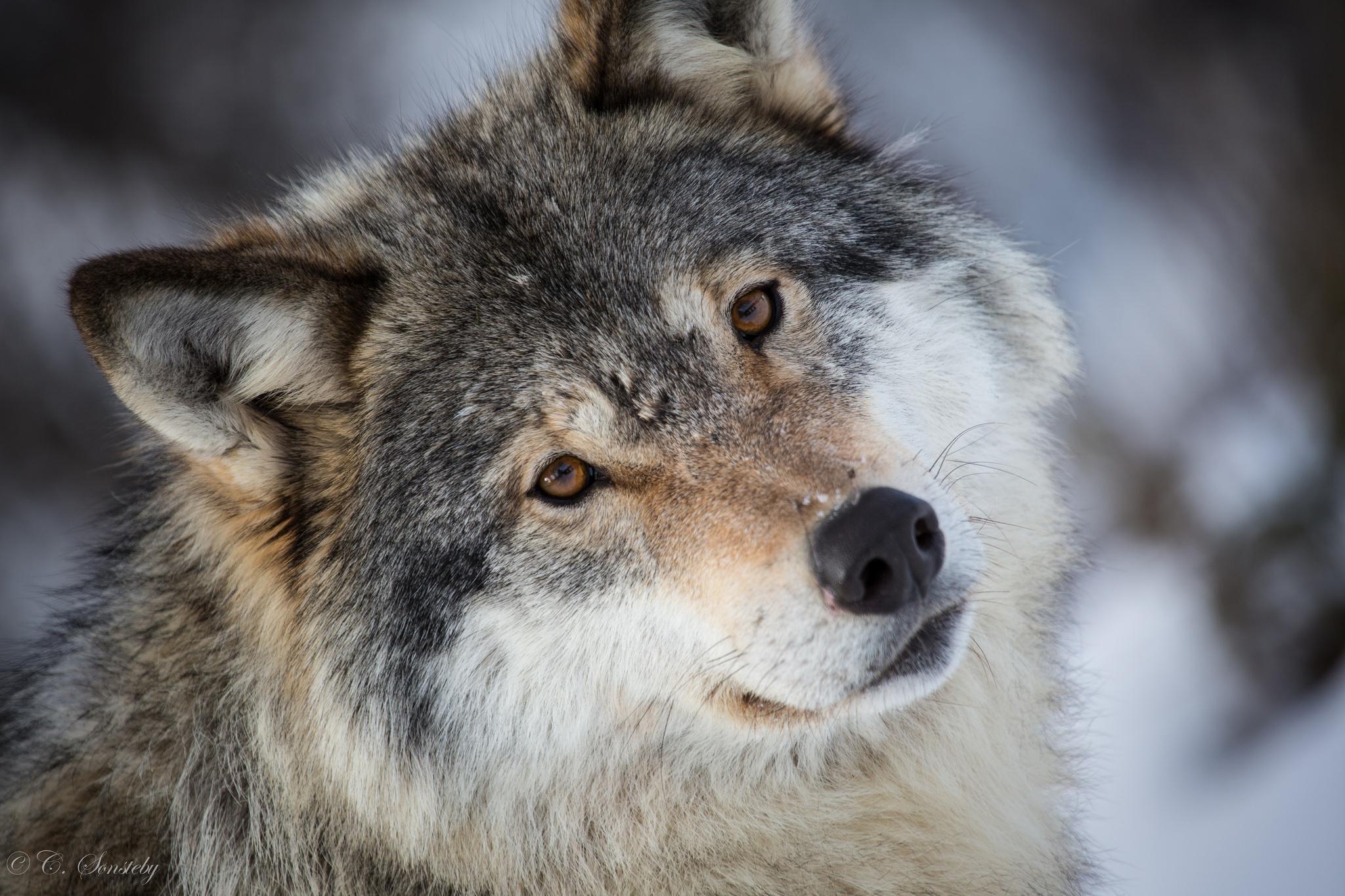 35+ best hd grey wolf wallpapers