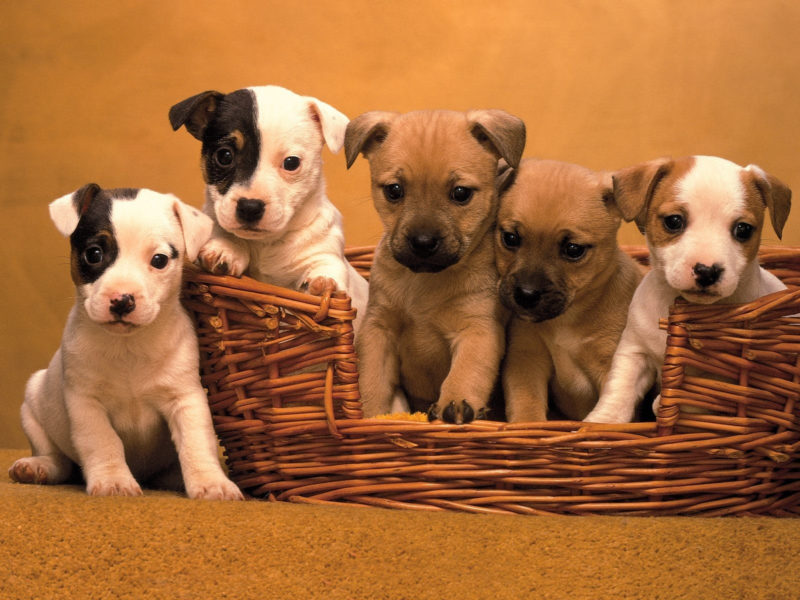 10 Latest 3D Puppy Wallpaper FULL HD 1920×1080 For PC Background 2020 free download 3d puppy wallpaper wallpapersafari 800x600