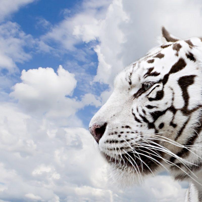 10 New White Tiger Wallpaper 3D FULL HD 1920×1080 For PC Desktop 2020 free download 3d white tiger wallpaper 800x800