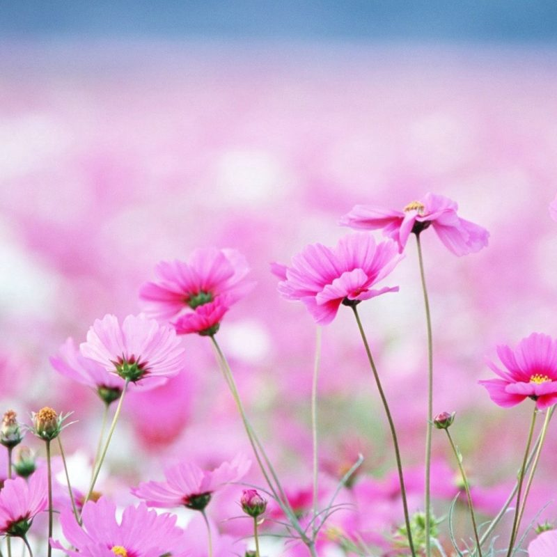 10 New Free Flower Desktop Wallpaper FULL HD 1080p For PC Background 2021 free download 40 beautiful flower wallpapers free to download flower wallpaper 1 800x800