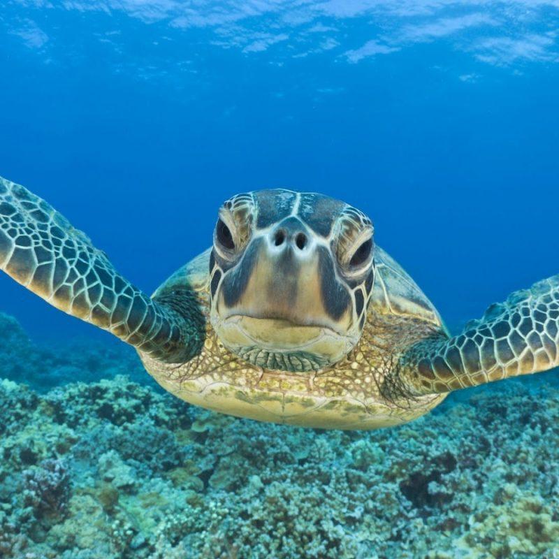 10 Latest Sea Turtle Desktop Wallpaper FULL HD 1920×1080 For PC Background 2018 free download 41 sea turtle desktop wallpaper 800x800