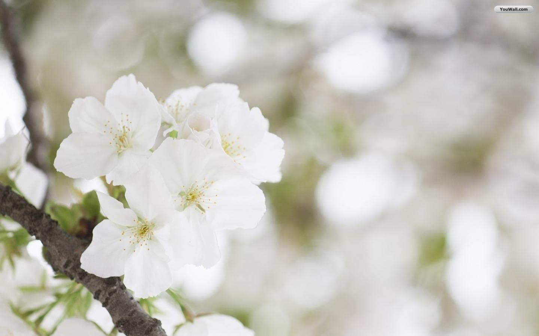 637779 white flower wallpapers