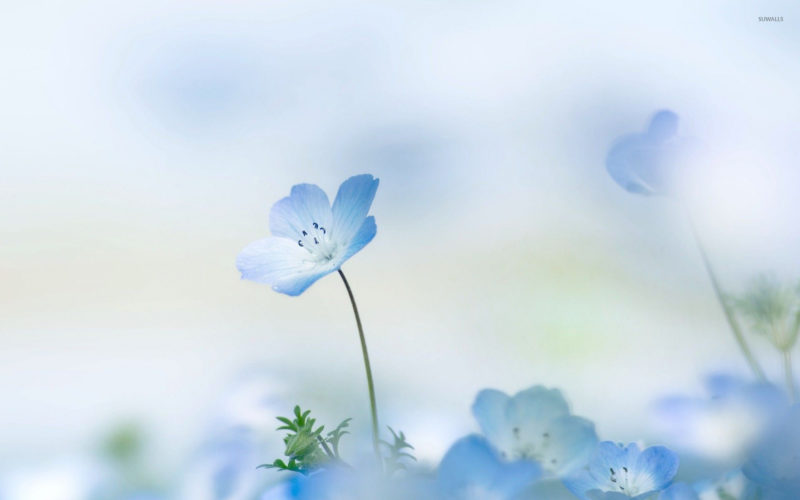 10 New Light Blue Flower Wallpaper FULL HD 1920×1080 For PC Desktop 2020 free download 66 blue flower wallpapers on wallpaperplay 800x500