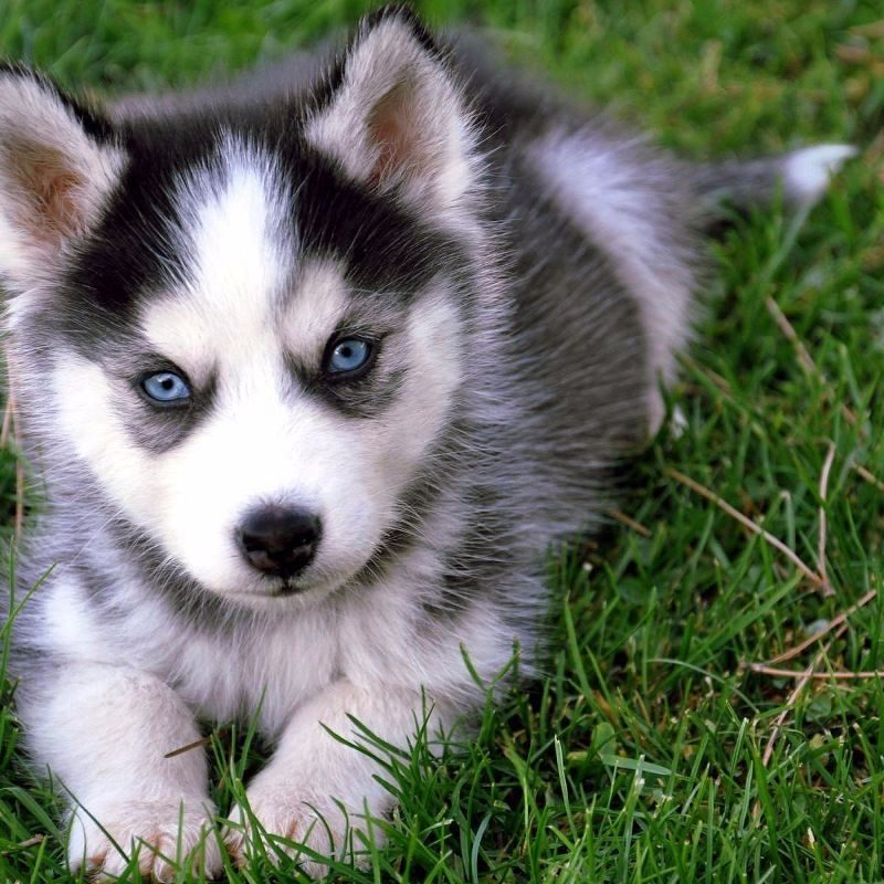 10 Most Popular Images Of Baby Huskies FULL HD 1080p For PC Background 2018 free download 7 things you need to know before buying a pomsky animalso 800x800