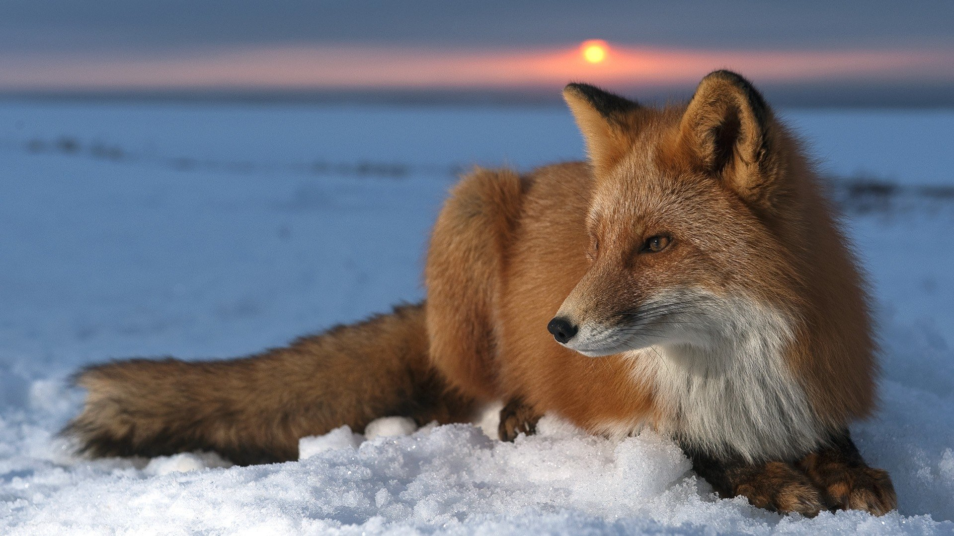771 fox hd wallpapers | background images - wallpaper abyss