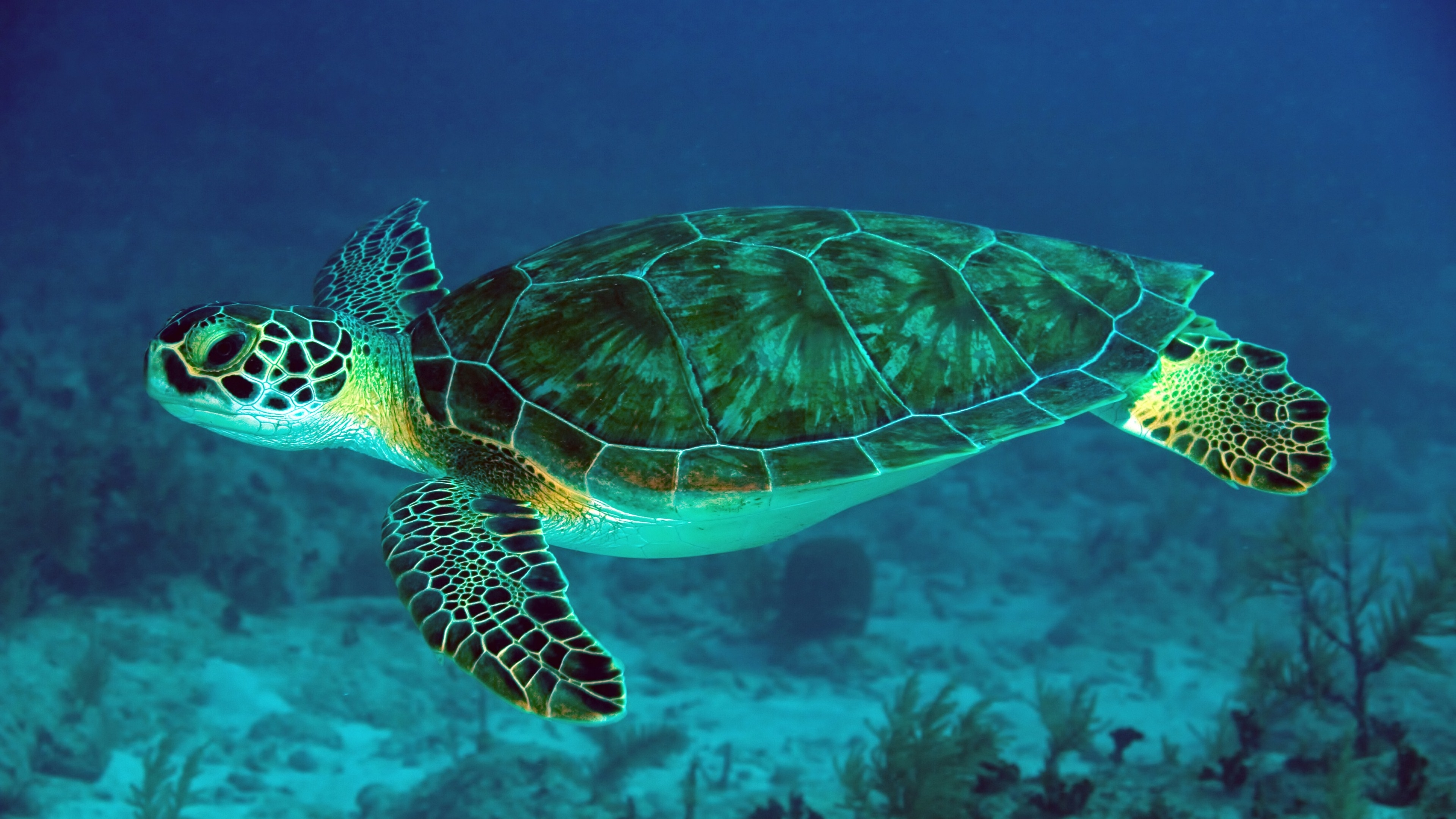 8 sea turtle hd wallpapers | background images - wallpaper abyss