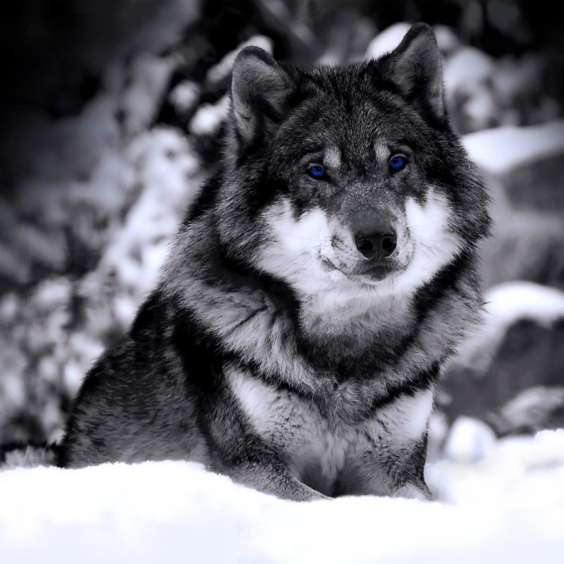 10 Latest Black And White Wolf Wallpaper FULL HD 1080p For PC Desktop 2021 free download 966 wolf hd wallpapers background images wallpaper abyss 6 800x800