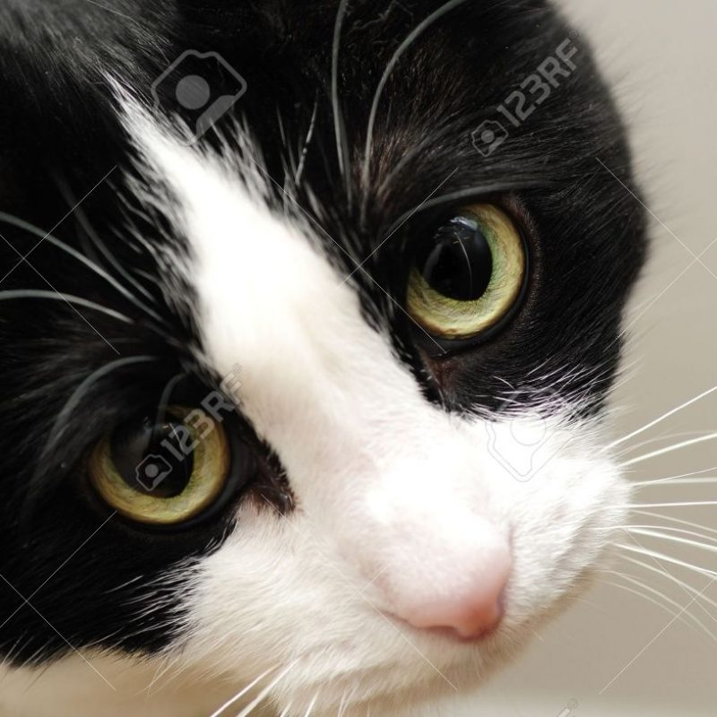 10 Best Black And White Cat Pictures FULL HD 1920×1080 For PC Desktop 2020 free download a cute black and white cat with sad yellow eyes stock photo picture 800x800