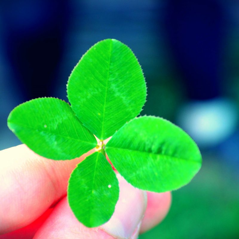 10 Most Popular 4 Leaf Clover Wallpaper FULL HD 1080p For PC Background 2018 free download a four leaf clover e29da4 4k hd desktop wallpaper for 4k ultra hd tv 1 800x800