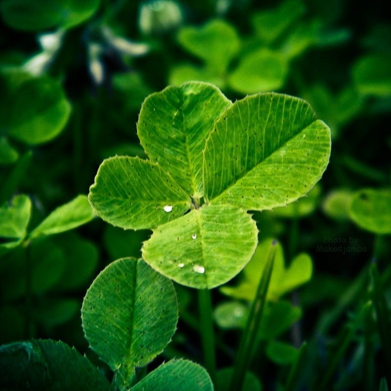10 Most Popular 4 Leaf Clover Wallpaper FULL HD 1080p For PC Background 2018 free download a four leaf cloversmakadjamba on deviantart 1 800x800