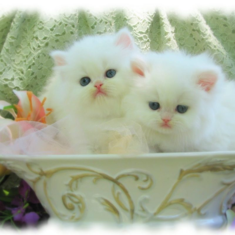 10 New Cute White Cat Pictures FULL HD 1920×1080 For PC Desktop 2020 free download afunnyimages provides high definition white persian cat wallpapers 800x800