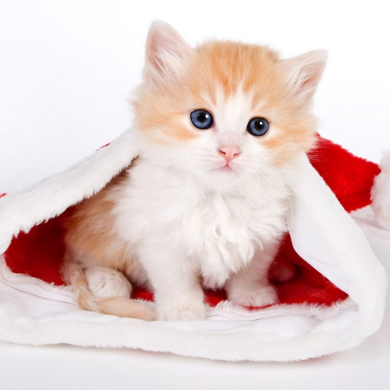 10 Best Cute Animal Christmas Wallpaper FULL HD 1080p For PC Background 2018 free download all about tuxedo cat facts personality cat wallpaper cat and 800x800