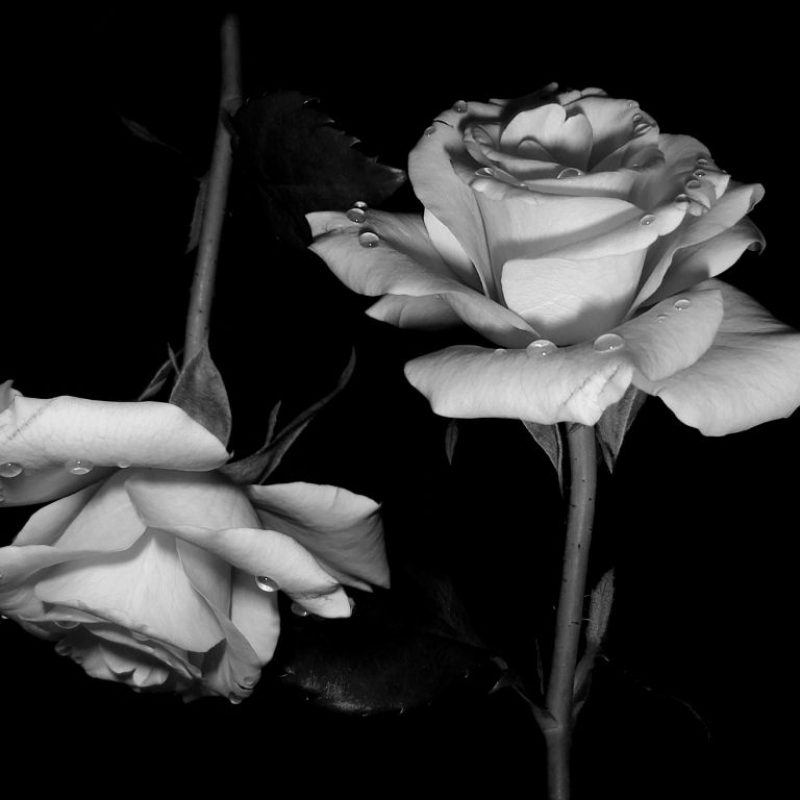 10 Best Black And White Roses Wallpaper FULL HD 1920×1080 For PC Desktop 2020 free download and white roses wallpaper black for iphone hd images gipsypixel 800x800