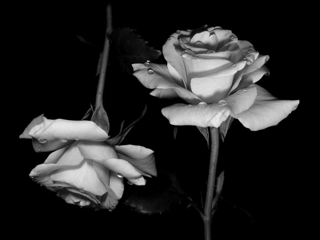 and white roses wallpaper black for iphone hd images ~ gipsypixel