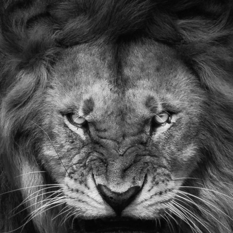 10 Most Popular Angry Lion Wallpaper Black And White FULL HD 1080p For PC Desktop 2018 free download angry lion face wallpaper iphone wallpaper iphone wallpapers 800x800