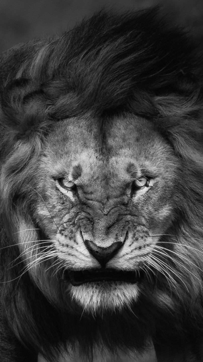 10 Most Popular Angry Lion Wallpaper Black And White Full Hd