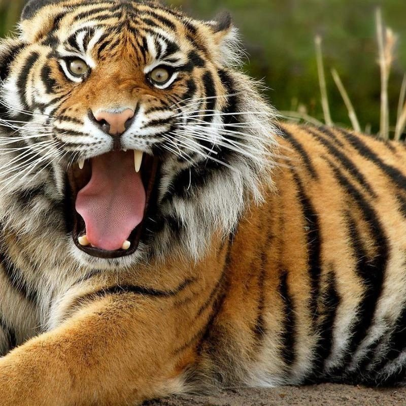 10 New Angry Tiger Wallpaper Hd 1080P FULL HD 1920×1080 For PC Desktop 2018 free download angry tiger photos 800x800