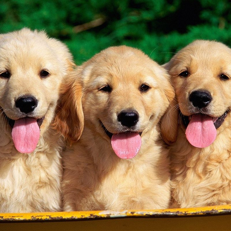 10 Most Popular Golden Retriever Puppy Wallpaper FULL HD 1080p For PC Background 2021 free download animal wallpaper golden retriever puppy wallpapers freshwallpapers 1 800x800